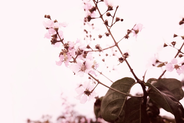 Sakura flor de cerejeira natureza beleza