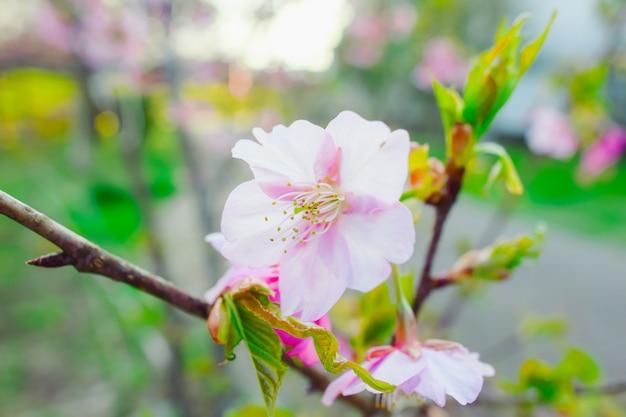 Sakura, flor de cerejeira rosa no japão na primavera.