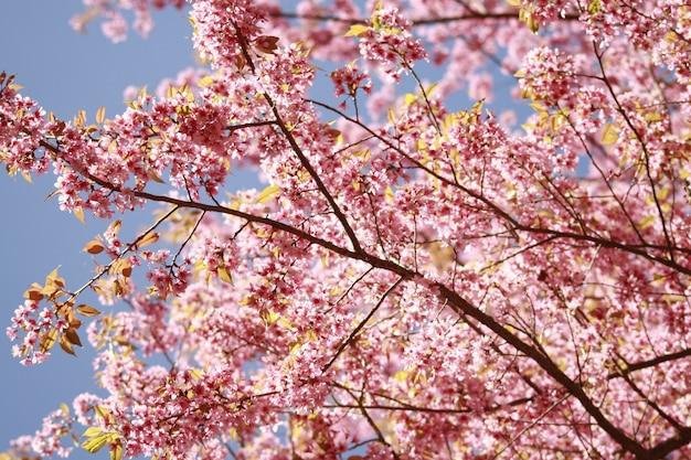 Sakura flor rosa na tailândia