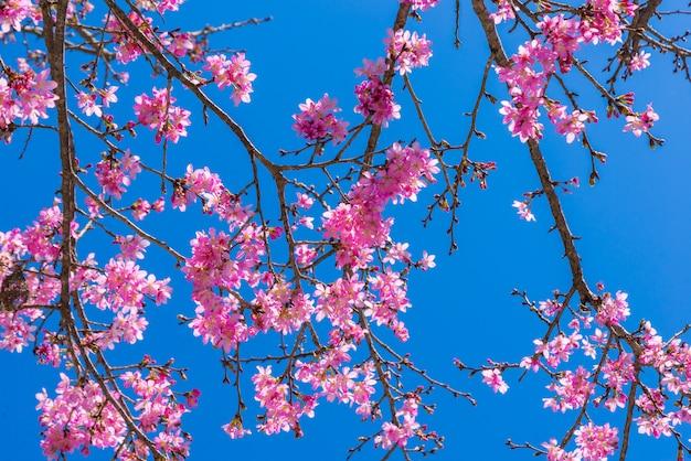 Sakura floresce no galho com céu azul durante a primavera