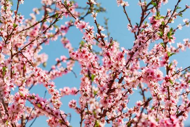 Sakura floresce no jardim