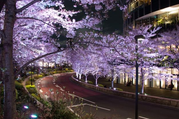 Sakura ilumine no jardim de mori de colinas de roppongi