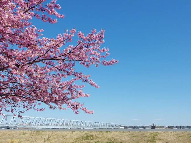 Sakura japonesa, completa florescendo árvore de flores de cerejeira rosa e céu azul na primavera.