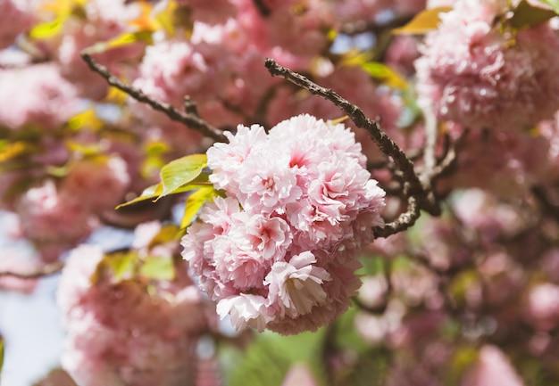 Sakura. ramo de cerejeira