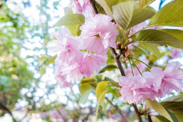 Sakura rosa está florescendo