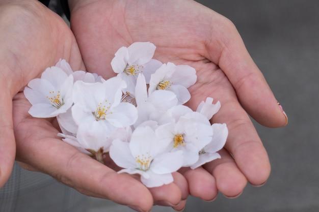 Sakura rosa flor na mão