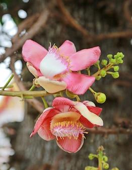 Sal da índia, couroupita guianensis aubl. a planta na história do budismo e normalmente ser fundada crescendo na área do templo tailandês.
