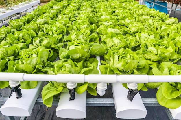 Salada de alface com folhas verdes orgânicas frescas em sistema de cultivo de hortaliças hidropônicas