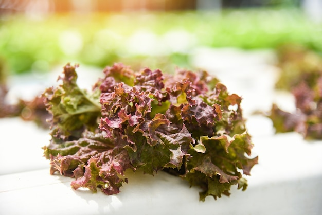 Salada de alface vermelha jardim crescendo no sistema hidropônico