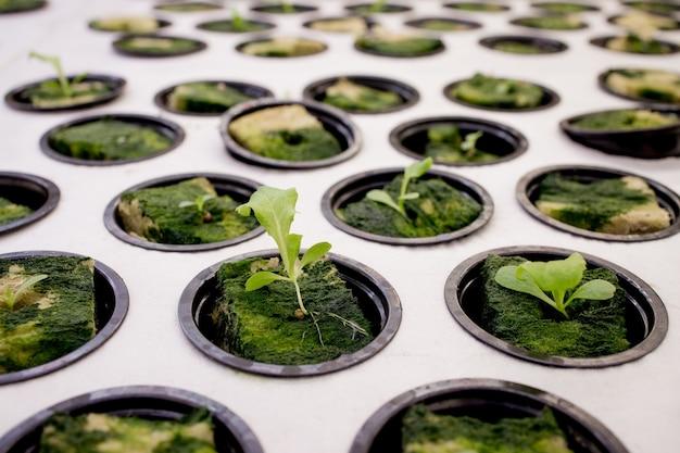 Salada de germinação em lã de rocha para hidroponia. preparando-se para o cultivo de plantas no jardim. broto verde. terreno fértil.