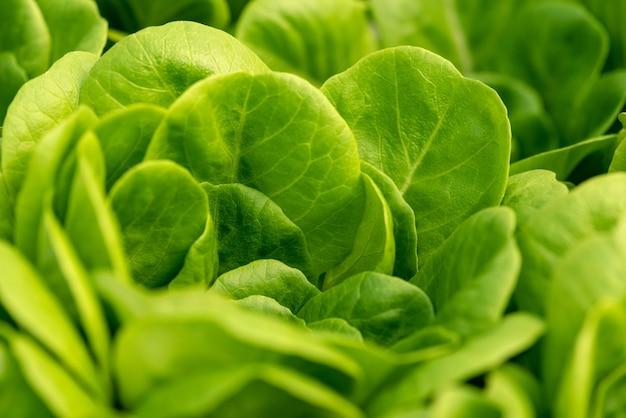 Salada de milho, alface verde deixa o fundo. valerianella locusta, foto de alimento vegetal rapunzel