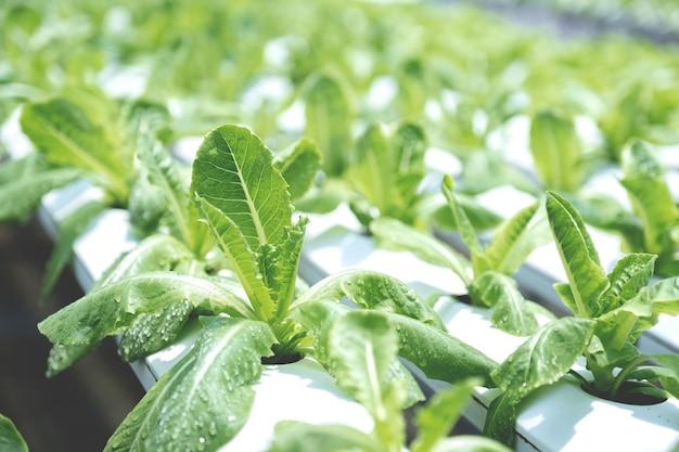 Salada de vegetais na fazenda do jardim hidropônico, cultivo de agricultura orgânica saudável.