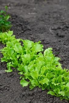 Saladas de alface aparafusadas em uma horta