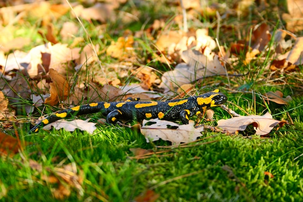 Salamandra de fogo em uma grama verde