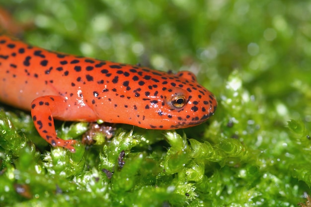 Salamandra de lama vermelha pseudotriton em uma superfície musgosa