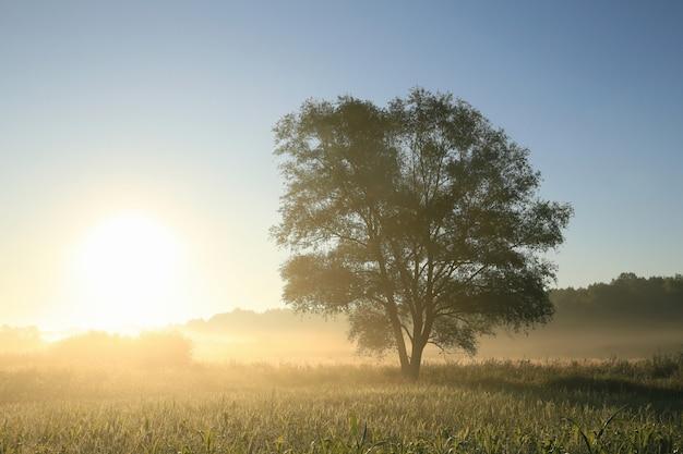 Salgueiro em um campo ao amanhecer