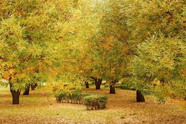Salgueiros com folhas de outono amarelas e verdes
