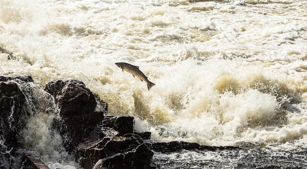 Salmão do atlântico, salmo salar, pulando em cachoeiras turbulentas em kristiansand, noruega