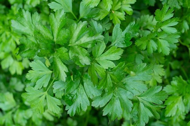 Salsa cresce no jardim ao ar livre no jardim fundo verde de folhas de salsa vista de cima