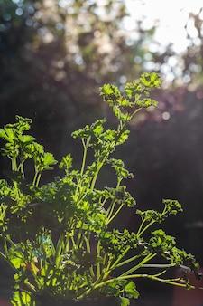 Salsa encaracolada deixa closeup no jardim