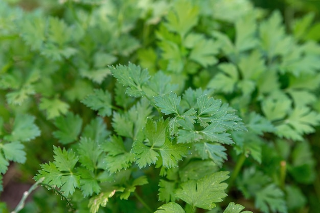 Salsa verde fresca crescendo na horta fundo de alimentos de folhas de salsa verde