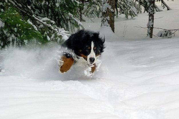 Saltar cão bernese mountain inverno frio da neve