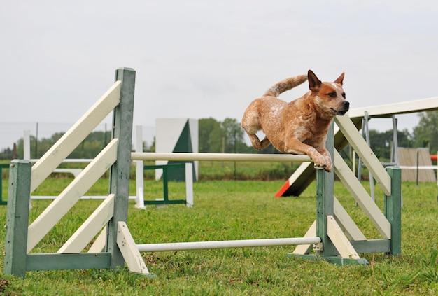 Salto de cão agilidade