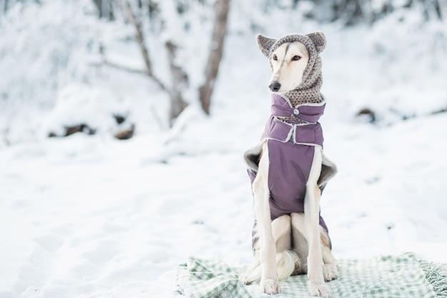 Saluki com chapéu de malha e roupas em retrato de floresta de inverno