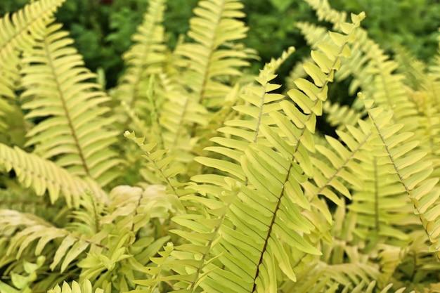 Samambaia amarela em tropical