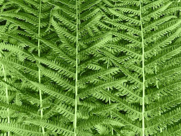 Samambaia de arbustos. fundo.