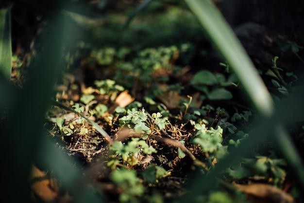 Samambaia de trevo minúsculo no chão com a luz solar.