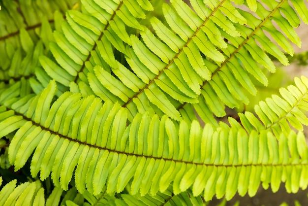 Samambaia em espinha de peixe ou folhas verdes do ramo de nephrolepis cordifolia em fundo natural.