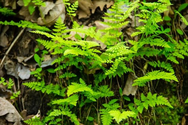 Samambaia na floresta