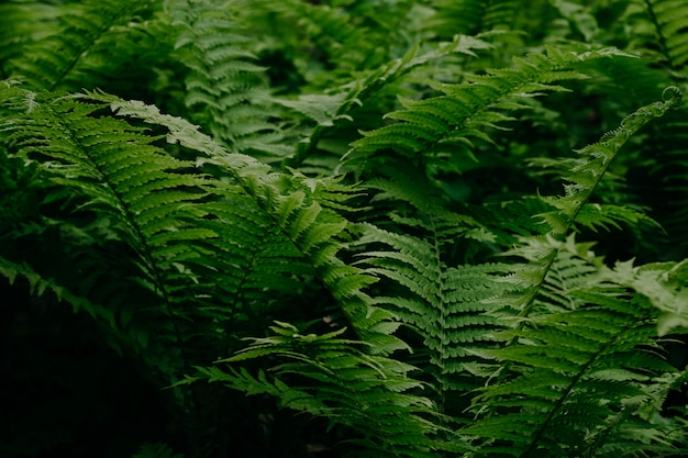Samambaia verde na floresta. fundo natural