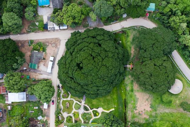 Samanea saman ou rain tree, a maior árvore em 100 anos em kanchanaburi