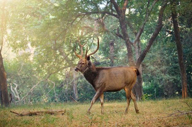 Sambar masculino rusa unicolor veado na floresta do parque nacional de ranthambore, rajasthan, índia