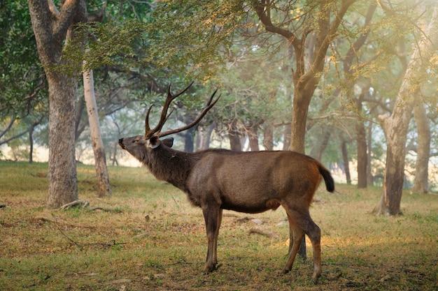 Sambar masculino rusa unicolor veado no parque nacional de ranthambore, rajasthan, índia