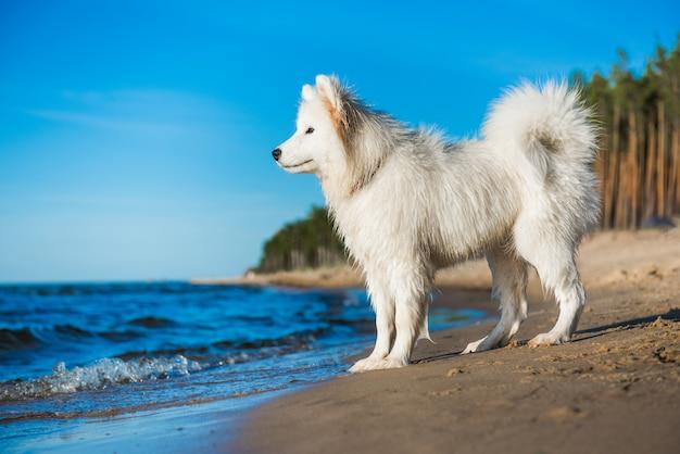 Samoiedo cachorro branco caminha na costa do mar báltico
