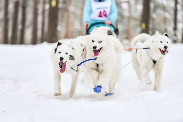Samoiedo cão de trenó esporte corrida concorrência