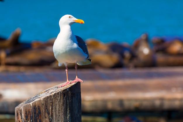 San francisco pier 39 gaivota e focas na califórnia