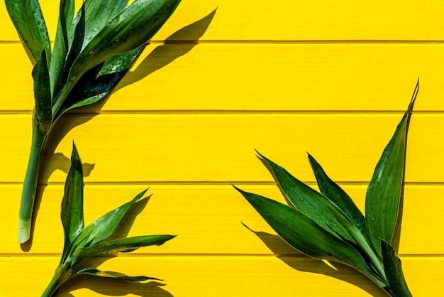 Sanderiana do dracaena da vista superior, liliaceae, plano da fita na madeira amarela.