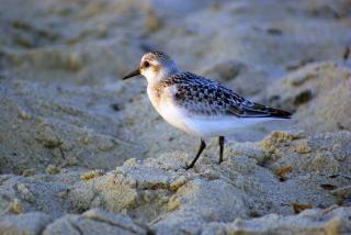 Sandpiper, aviador