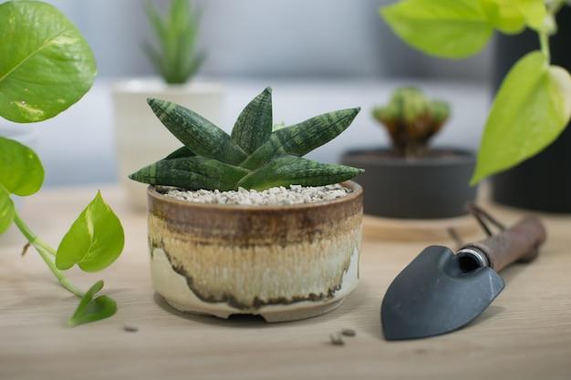 Sansevieria boncellensis em vaso de cerâmica