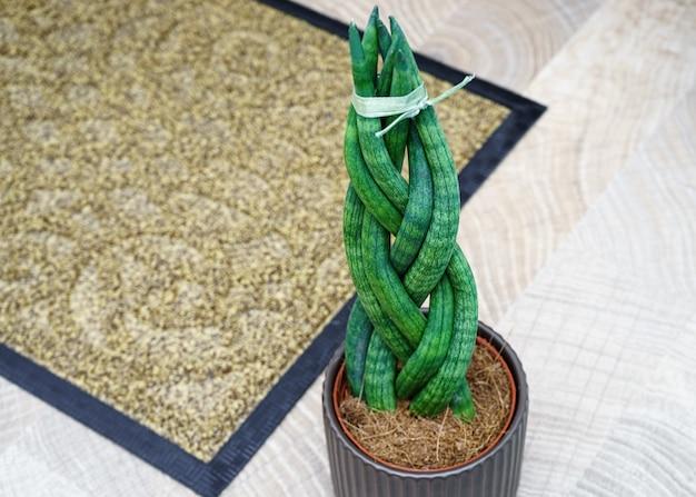 Sansevieria é cilíndrica em forma de rabo de cavalo.