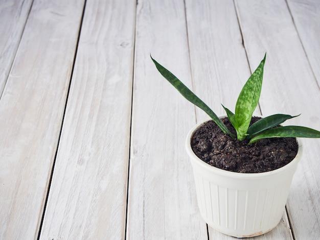 Sansevieria em uma panela branca em uma velha mesa de madeira
