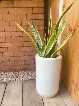Sansevieria trifasciata prain em vaso branco para decoração de casa