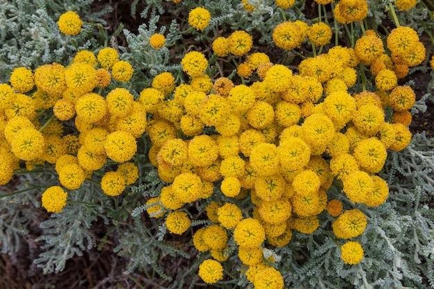 Santolina chamaecyparissus, planta medicinal selvagem tradicional com flores amarelas