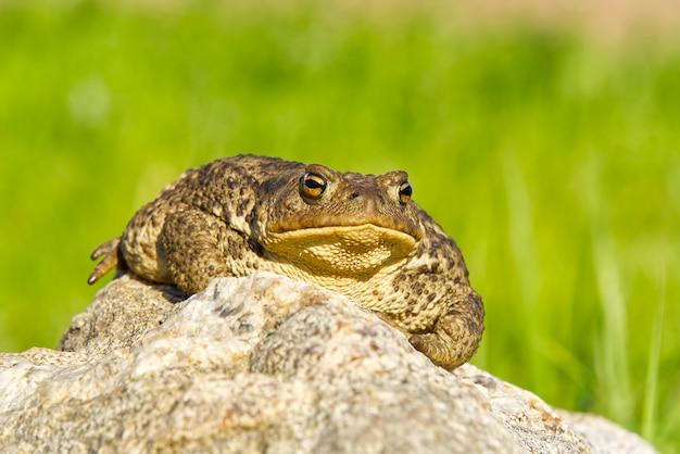 Sapo comum sentado em pedra de granito.
