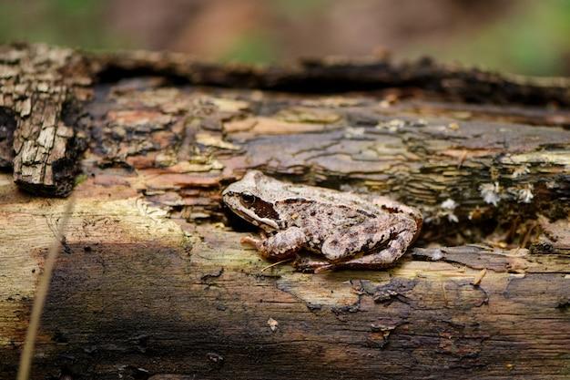 Sapo da floresta se disfarça na casca de uma árvore