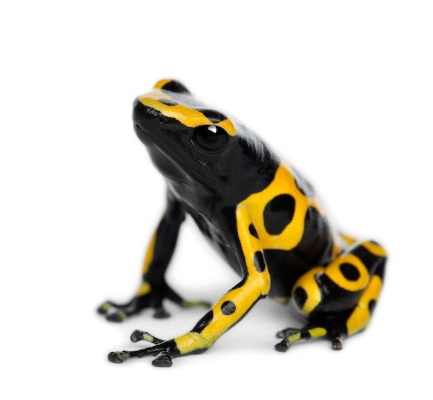 Sapo dardo venenoso de faixa amarela, também conhecido como sapo dardo venenoso de cabeça amarela e sapo venenoso zangão, dendrobates leucomelas, contra o espaço em branco